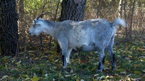 Blue Goat our goats blueeyedminiaturegoats