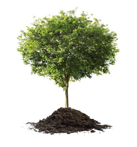tree plant celebrate arbor day in greene on friday get a free tree