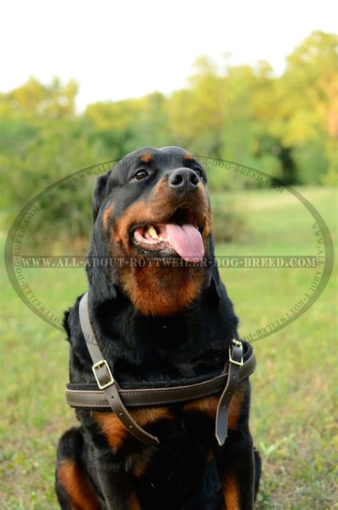 rottweiler items buy felt padded leather rottweiler harness pulling walking