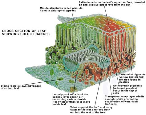 diagram of cross section of a leaf green gold the leaves of life