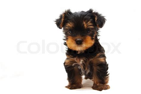 white yorkie terrier puppy of the terrier on white background stock photo colourbox
