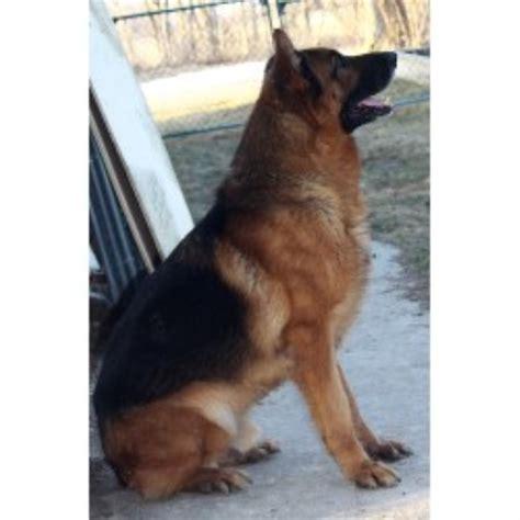 free german shepherd puppies in michigan carlson s country shepherds german shepherd breeder in onaway michigan