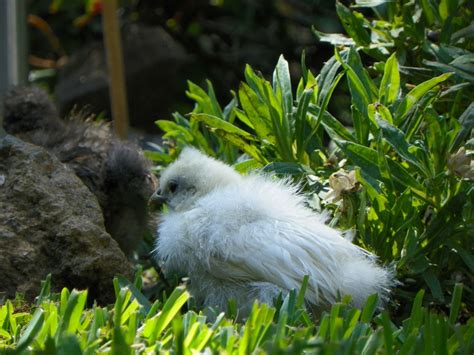 Backyard Chickens Coccidiosis Coccidiosis Prevention Cure And Healing
