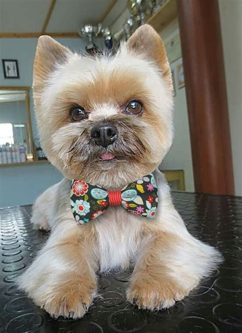 Clipping And Grooming Your Terrier 51 best images about terrier grooming hairstyles on