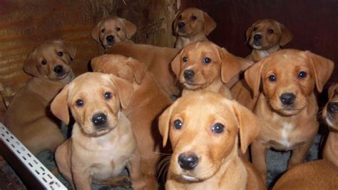 fox labrador puppies for sale fox labrador puppies for sale ongar essex pets4homes