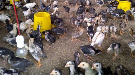 Bibit Ayam Kedu Bagaimana Mencetak Ayam Kung Klub Burung