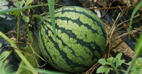 Bijibenihbibit Buah Semangka Lonjong Kuning klasifikasi dan morfologi tanaman semangka citrullus
