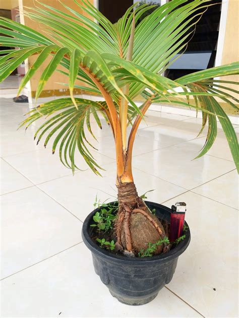 harga bonsai kelapa wow amazing youtube  ber kebun