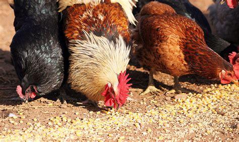 alimentazione delle galline la corretta alimentazione delle galline ovaiole galline