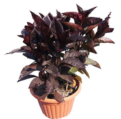 black varnish pseuderanthemum live plant 2 5 inch pot
