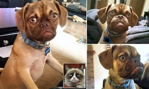 grumpy puppy grumpy becomes the new grumpy cat official