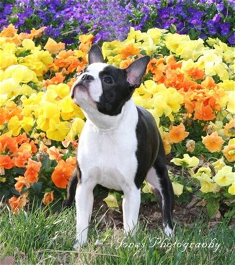 boston terrier puppies for sale in oregon boston terrier puppies for sale portland oregon dogs in our photo