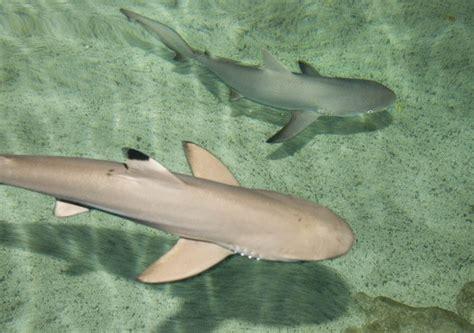 baby shark uk a black tip reef shark front and a gray reef shark get