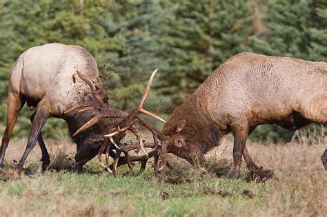 monster bull elk fighting