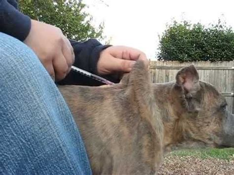 5 way puppy vaccine vaccinations how to administer the puppy 5 way vaccination
