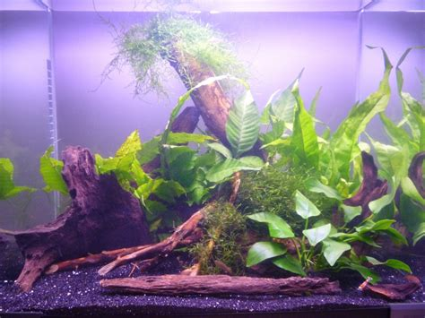 Aquascaping Competition Aquascaping World Competition Gallery Scarlet Badis