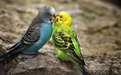 Birds Wallpaper | wallpapers love birds desktop wallpapers