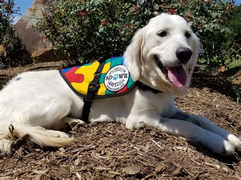 autism service dogs service dogs by warren retrievers delivers autism service to in katy tx