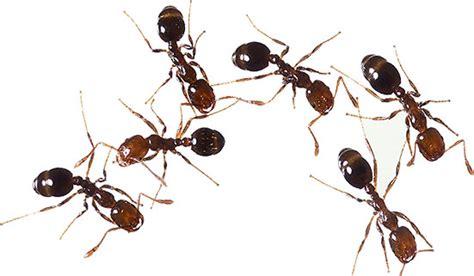 wallpaper semut hitam animated ants ant clipart free