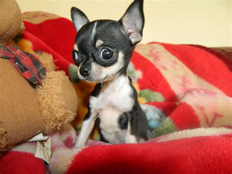 micro tiny chihuahua puppies for sale micro chihuahua 15 lbs fully grown breeds picture