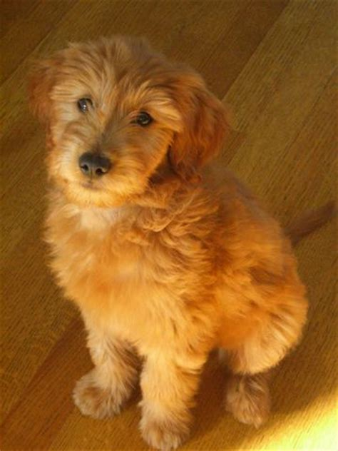 mini goldendoodles west virginia 17 best ideas about medium goldendoodle on