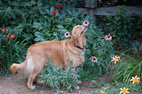 golden retriever stinks 17 adorable photos of animals smelling flowers
