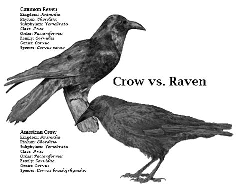 crow raven blackbird