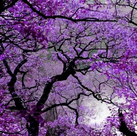 purple tree purple jacaranda s 248 gning what a wonderful world