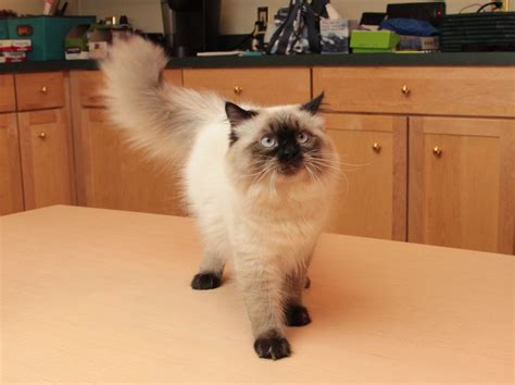 File:Sealpoint Himalayan Kitten Genghis at 6 months by