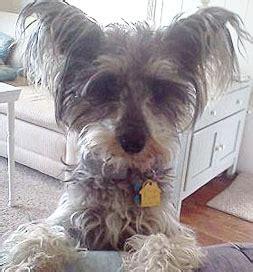 schnauzer yorkie poodle mix schnauzer poodle mix puppies for sale memes