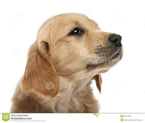 7 week golden retriever puppy up of golden retriever puppy 7 weeks royalty free stock photo image 28177805