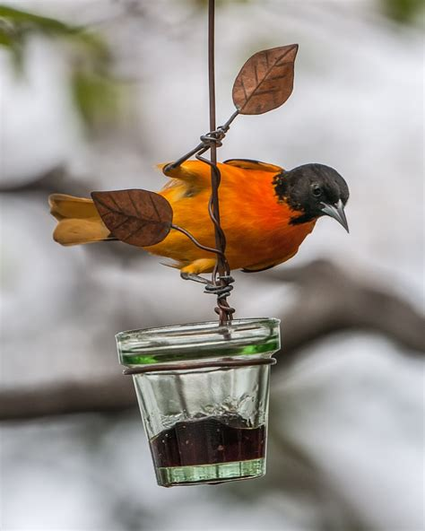 male baltimore oriole at jelly feeder feederwatch