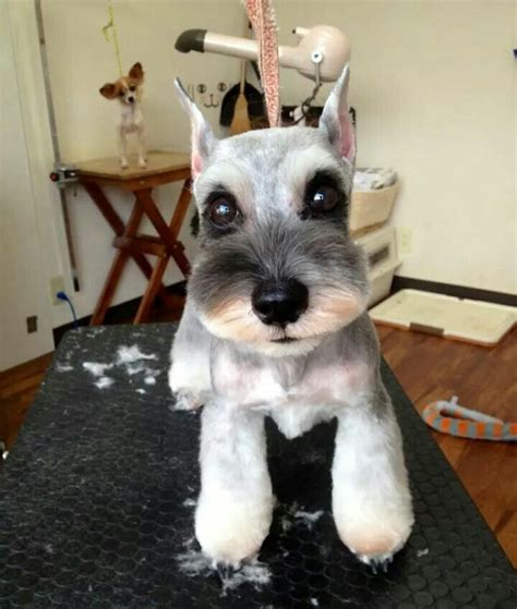 asian cuts for dogs japanese style dog grooming schnauzer schnauzers