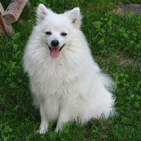 dogs dogs dogs volpino italiano breed guide learn about the volpino italiano