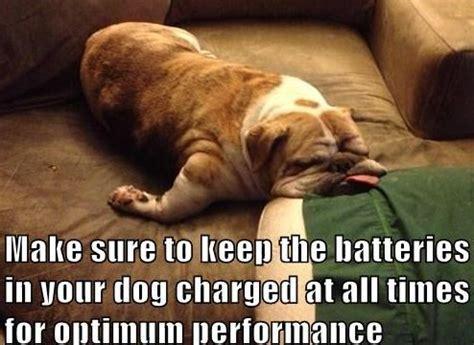 Bulldog Meme - pics for gt tired bulldog meme