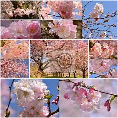 immagini fiori di ciliegio giapponese fiori di ciliegio giapponese carta da parati pixers it