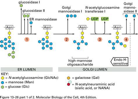 protein glycosylation golgi glycosylation