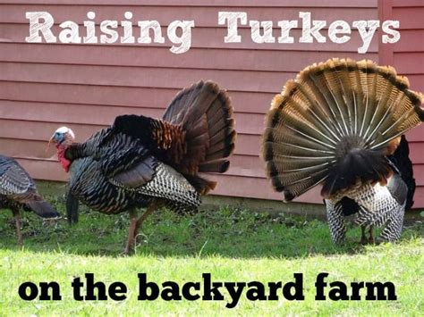 raising backyard turkeys 515 best images about turkey s on pinterest toms thanksgiving and raising