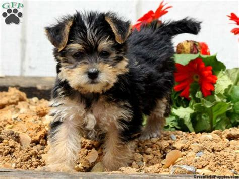 yorkie puppies for sale in lancaster pa 172 best images about loving designer puppies for sale on morkie puppies