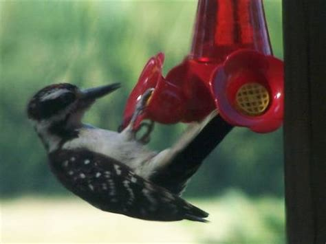 woodpecker on hummingbird feeder