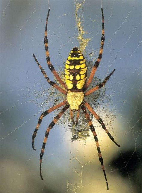 Garden Spider Florida Bite Animals From Your Region Page 13
