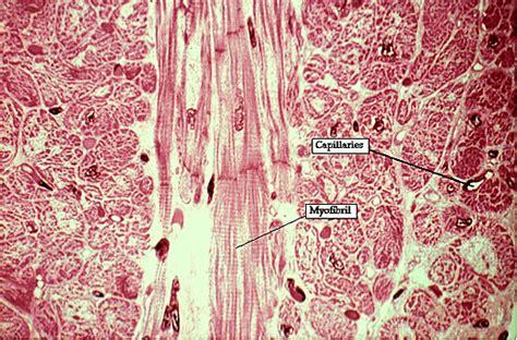 cardiac muscle cross section muscle slide 18
