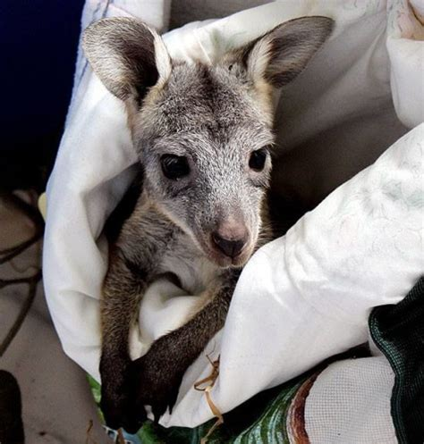 doodlebug wallaby this adorable picture of an orphaned kangaroo and his