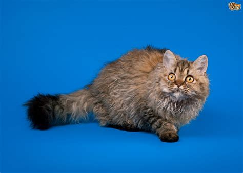 curly haired breeds all about rex cat breeds curly haired cats pets4homes