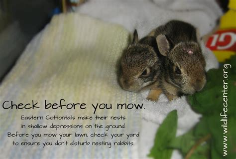 what to do with baby bunnies in backyard what to do with baby bunnies in backyard 28 images what to do if you find a nest