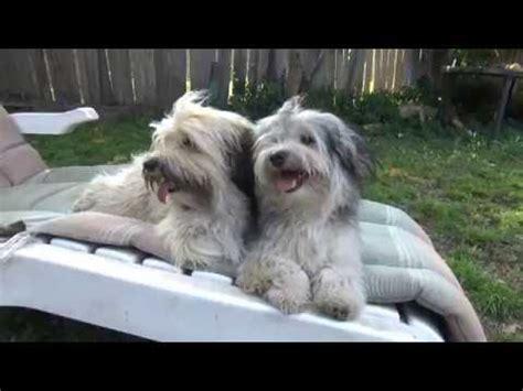 best brush for havanese havanese grooming funnydog tv