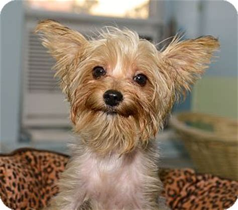 yorkie adoption nyc yorkie terrier mix for adoption in new york new york breeds picture