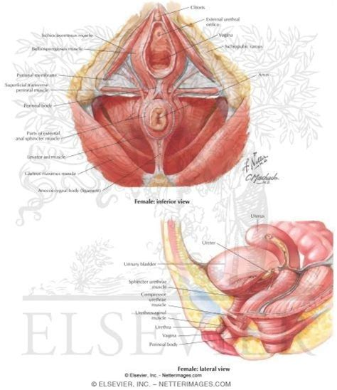 Pelvic Floor Muscles by Pelvic Floor Muscles