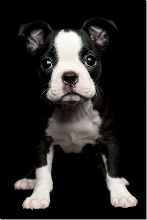 puppy le pew 25 best ideas about white bulldogs on bulldog puppies