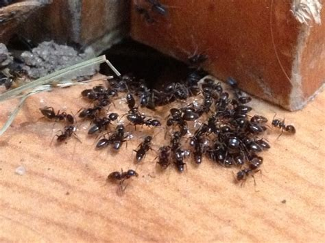 Odorous House Ants by Best Pest Inc Provides Insect Rodent Pest Service